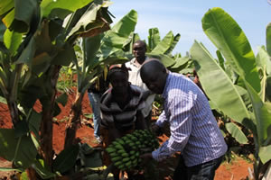 Banana harvesting in Mathioya